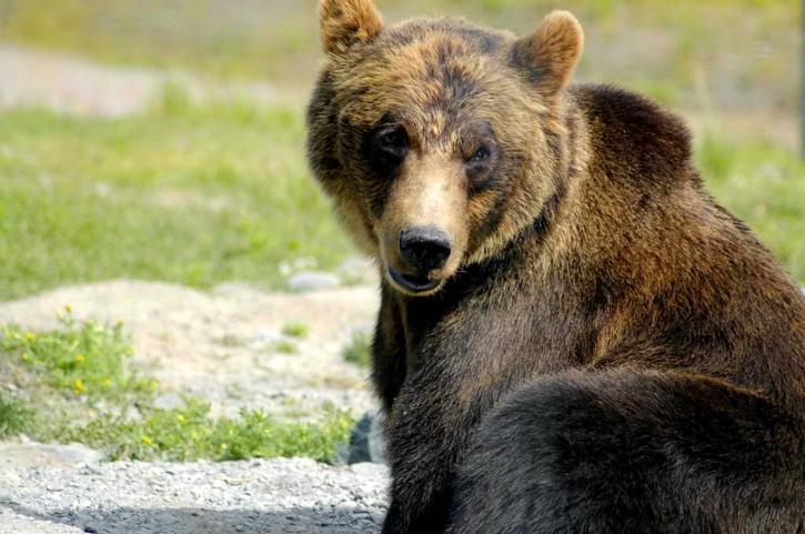 brown-bear-ursus-arctos-big-bear-725x481